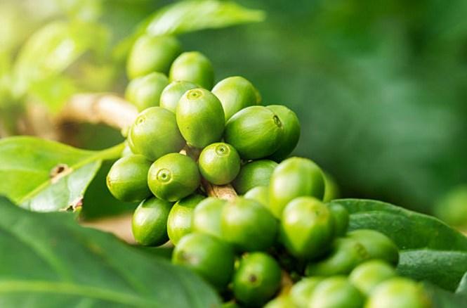 зелени плодове кафе на клон
