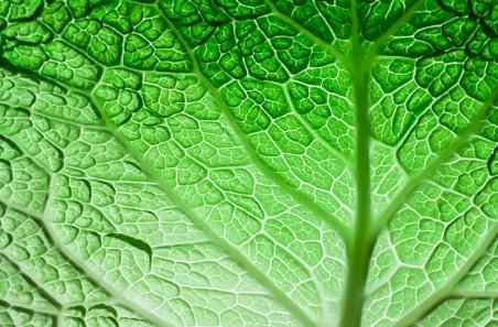 лист зелен зеленчук