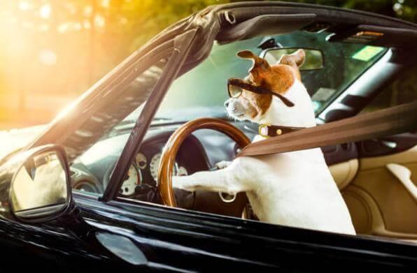 куче зад волана на кола