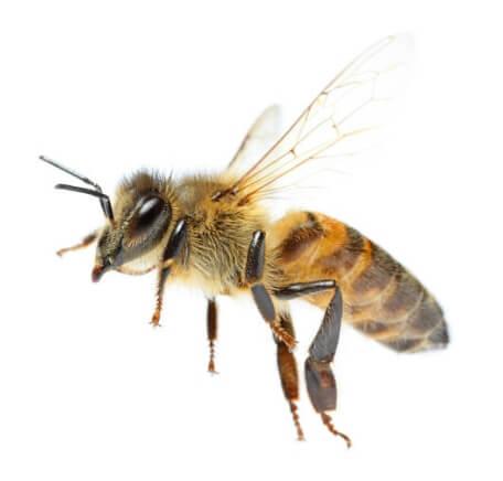 пчелна отрова